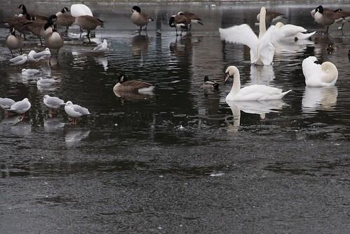 Blackheath Ducks, Swans and Ice