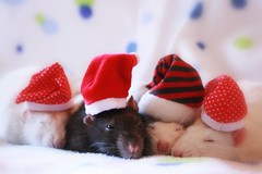 Dreaming and waiting for Christmas (Honey Pie!) Tags: cute rat gorro caps linus beethoven explore polkadots bolinhas cupcake cap feliznatal rats lovely schroeder happychristmas sleepyheads fancyrat fancyrats explored