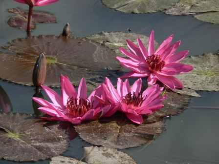 Lovely water lilies at Banteay Srei Temple Angkor Cambodia