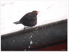 Kurtis Amseleisdiele - ice-cream parlor for blackbirds (2)