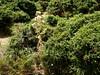 Végétation d'épines-vinettes de la crête de Prunu