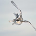 Snowy Owl Diving Flight