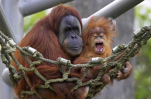 Sumatra-Orangutan-Infant_15