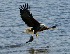 Butterfingers (Todd Ryburn) Tags: birds animals flickr wildlife baldeagle mississippiriver eagles 2010 baldeagles raptures zenfolio lockdam14
