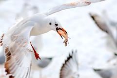 Larus - Sirály (Afghan Hound Kalaf) Tags: winter bird nature birds animal animals zoo flying nikon wildlife seagull wing larus d300 sirály tél állatkert madarak madár animalkingdomelite nikond300 slbfeeding