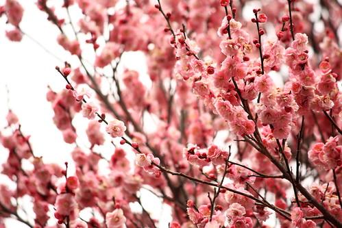 八重の桃色の梅