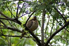 Pomba-de-bando (Zenaida auriculata) (Christian Beier) Tags: aves zenaida columbidae columbiformes avoante eareddove zenaidaauriculata pombadebando ajuricaba