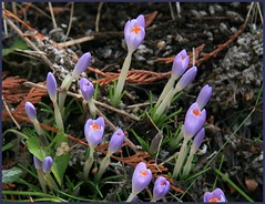 First Crocus (arrowlakelass) Tags: winter flower garden spring crocus mauve firstcrocus img3938