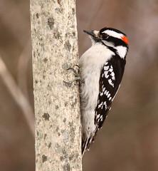 I've got a good grip. (mghornak) Tags: bird nature canon woodpecker downywoodpecker wildlife downy 50d canonef300mmf4lisusm canoneos50d 100commentgroup vosplusbellesphotos canonteleconverter14x