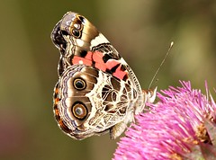 Purple Pageant (DrPhotoMoto) Tags: butterfly thistle northcarolina picnik richmondcounty vanessavirginiensis americanpaintedlady macrolife