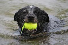 Heeler Fetching (PhotoYoop) Tags: dog cute beach cattle michigan australian canine cattledog tennisball upperpeninsula heeler australianblueheeler