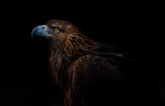 Boadicea (_pauls) Tags: portrait eagle raptor predator captive goldeneagle birdofprey aquilachrysaetos featheryfriday sionhillhall