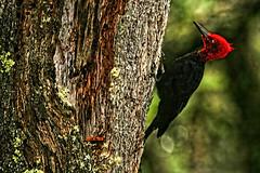 Magellanic Woodpecker (billy3001) Tags: patagonia argentina woodpecker lagodeldesierto campephilusmagellanicus