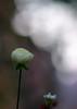 2 Flowers thinking happy thoughts (alan shapiro photography) Tags: flowers flower closeup lights blossom bokeh dreaming thinking bloom bud alanshapiro thoughtbubbles momentsoftruth ashapiro515 ©2010alanshapiro alanshapirophotography wwwalanwshapiroblogspotcom ©2010alanshapirophotography