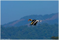 A Life time catch - Returning Home (Naseer Ommer) Tags: bird flight aves soe forests bucerosbicornis greatindianhornbill bucerotidae coraciiformes canon400mm sholayar naseerommer canoneos40d discoverplanet dpintl keralaforestswildlife