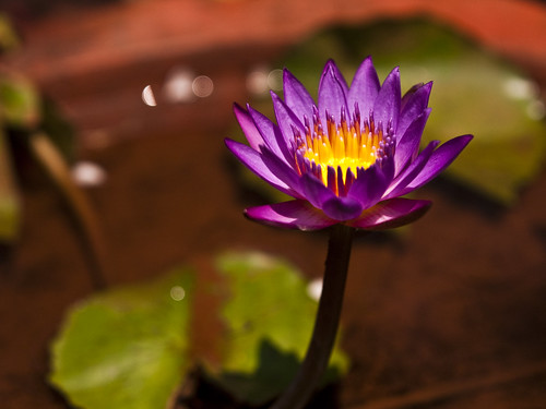 Beautiful Purple Lotus....