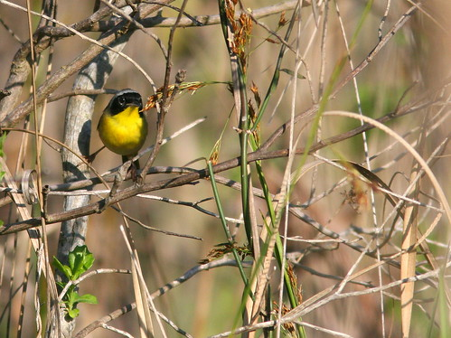 Common Yellowthroat 20100325