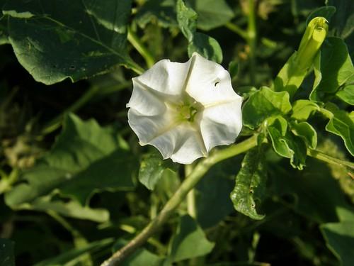 flor de chamico 5