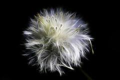 Ephemeral (Mona Hura) Tags: leave me its last tooth that for weed with time lion dream seed some dandelion kind short only proof period ephemeral perennial thelittleprince noxious fractalius 4156a