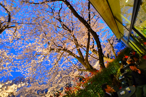 Dining under the cherry blossom tree 2