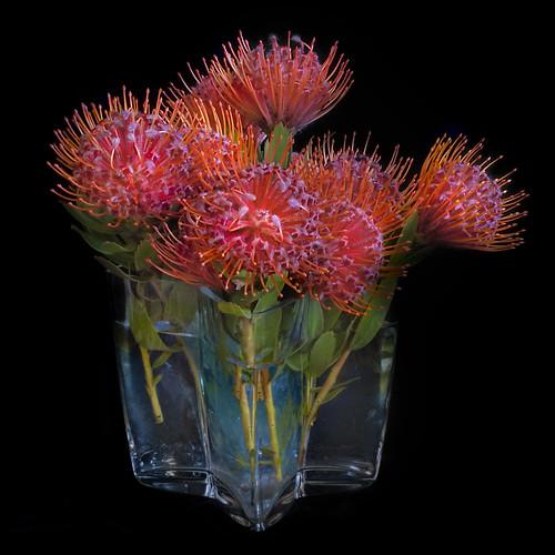 Leucospermum in Glass Vase