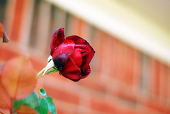 blowin' in the wind (cas1957) Tags: life red love leaves rose hearts soft wind falling soul feeling breeze