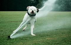 Doh! (MilkaWay) Tags: field georgia athens uga milka waterplay 2yearsold universityofgeorgia americanbulldog clarkecounty watersprinkler watercannon sayawww milkamonday andhaveagreatweek