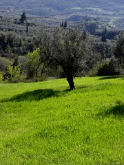 OLIVE tree in a GREEK LAND (dimitra_milaiou) Tags: life shadow sun tree green art nature colors painting landscape greek grey one 1 spring europe paint village sony hellas greece peloponissos dimitra hellenic achaea dscp93a      milaiou