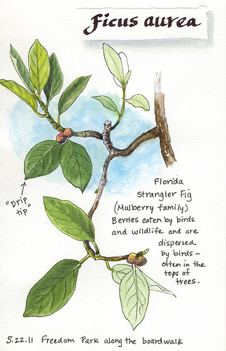38f6395424a A Nature Art Journal in Southwest Florida  Strangler fig