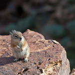 Chipmunk, Grand Canyon.