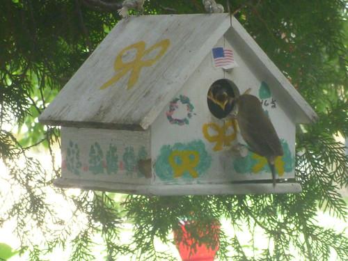 House Wren Feeding Young