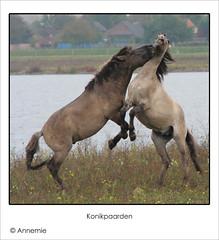 Langs de Grensmaas (Anne_mie) Tags: playing holland limburg konikhorses stevensweert grensmaas dedoka dehompeschemolen