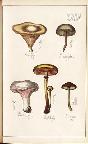 Orcella, Serrulatus, Prinulus, Mutabilis et Sericeus spp