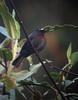 Ochthoeca thoracicusPe (barbetboy) Tags: fbwnewbird fbwadded ochthoeca ochthoecacinnamomeiventris maroonchestedchattyrant ochthoecathoracica