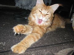 My, what big paws you have (mrpb27) Tags: cat canon ginger mainecoon longhaired ixus50 katte mrpb27