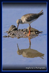 Red Shank Feeding (magforce) Tags: nature birding greenery sbwr bifs sungeibulohwetlandreserve wildlifesingapore migrantvisitor