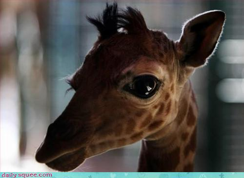 A baby giraffe, half back-lit, looks at the camera with dark, liquid eyes