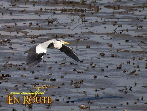 Sungei Buloh Grey Heron