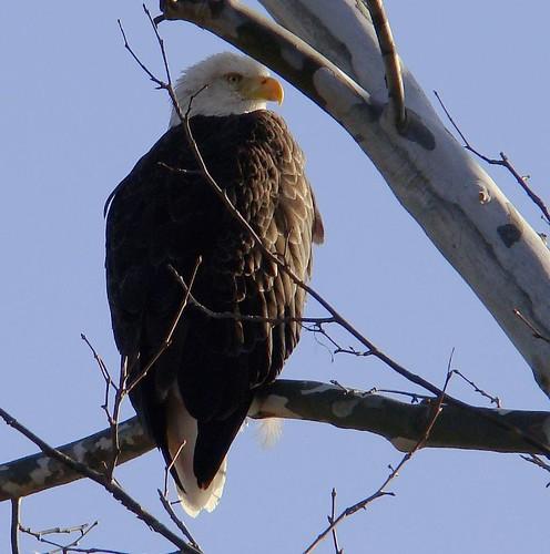 Bald eagle 3 2009