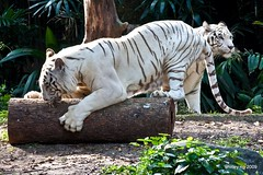 white tiger IMG_1054 (shirl6900) Tags: whitetiger singaporezoo
