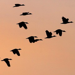Ombres chinoises (adour garonne) Tags: africa fly duck sundown vol parma canard coucherdesoleil burkina burkinafaso afrique gmt tagou liledetagou