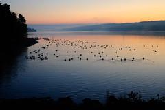 Awakening Geese