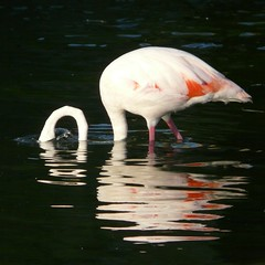 Flamingo in lake / Flamenco en el lago / Flamingo em lago (jovidoes) Tags: naturaleza reflection bird art blanco nature water birds animals lago atardecer libertad evening photo interesting spain europa flickr gallery foto photographer arte photos top flamingo free aves explore pjaros ave reflejo naranja flu libre flamenco tarde photostream belleza pjaro visin percepcion finearts equilibrio armona cuello sellection expolore comunitatvalenciana sumergido natureselegantshots jovidoes joaqunvicente joaquinvicente joaquinvicenteesp joaqunvicenteesp joaquinvicenteespilluch joaquinespi joaquinespilluch