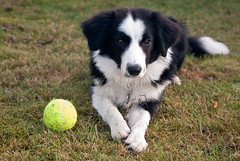 Come and get it! (fotoham) Tags: blackandwhite dog puppy bordercollie pup tennisball indi nikond3000