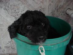 So dramatic! [To dramtica!] (Matheus P. Monteiro) Tags: dog co bucket pregnancy fake cachorro poodle balde floquinha 201003