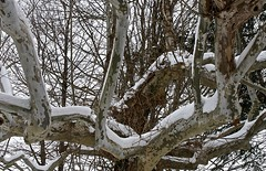 Gnarly Old Tree (Color) (Don Iannone) Tags: winter snow tree nikon flickr wintertime northeastohio winterphotography snowybranches willoughbyohio lakecountyohio doniannone greatercleveland gnarlyoldtree doniannonephotography nikond2xcamera visualadvantagephotography