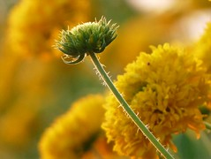 Marigold and young