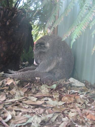 Koala Slump