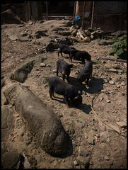 Walking H'Mong them - Potbellies (Peter Bellars) Tags: colour vietnam pigs february ricoh sapa hmong piglets 2010 hilltribe blackhmong grd potbellies grd3 grdiii hmonglife
