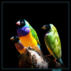 Gouldian Finches (rogersmithpix) Tags: finch finches onblack australianbirds gouldianfinch erythruragouldiae australianfinches